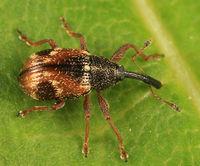 Anthonomus signatus BugGuide434015.jpg
