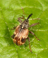 Anthonomus signatus BugGuide73367.jpg