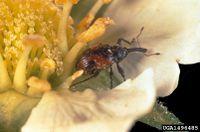 Anthonomus signatus IPM1496485.jpg