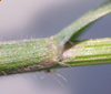 Anthoxanthum odoratum Blatthäutchen