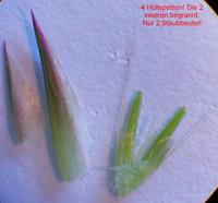 Anthoxanthum odoratum Blüte (2 Staubbeutel!)