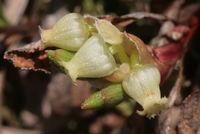Arctostaphylos alpinus, Blüten