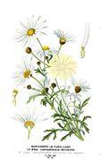 Argyranthemum frutescens - 001x.jpg