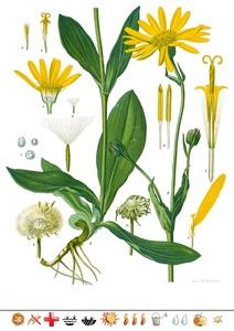 Pflanzentafel Arnika  als PDF-Datei
