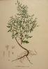 Artemisia annua - 001x.jpg