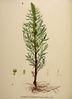 Artemisia tournefortiana.jpg