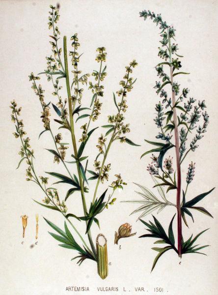 File:Artemisia vulgaris — Flora Batava — Volume v19.jpg