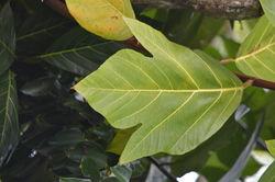 alt=Description de l'image Artocarpus mariannensis leaf.jpg.