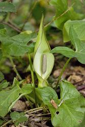 Gefleckter Aronstab: Pflanze– Olivier Pichard, CC BY-SA 3.0