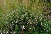 Asperula cynanchica: Osteifel, Heide westl. Volkesfeld, 27.06.2013 (Foto: Rolf Wißkirchen)