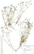 Asperula cynanchica: Heide westl. Volkesfeld, (Herb. Wissk.) (Foto: Rolf Wißkirchen)