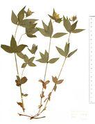 Asperula taurina: Ungarn, oberh. Pecs, leg. Wentz (Herb. MSTR) (Foto: Rolf Wißkirchen)