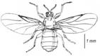 Aspistes berolinensis, Dungmücken - Scatopsidae