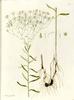 Aster sedifolius spp sedifolius.png