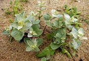 Atriplex laciniata: Pflanze zu Blühbeginn, Irland, County Donegal, Cruit Island, 18.06.2012 (Foto: Günther Blaich)
