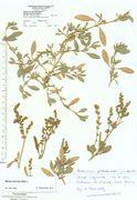 Atriplex portulacoides: oben vegetative Pflanzen, unten fruchtende Teilstücke, Amrun, leg. K. Farenholtz, 26.10.1992 (Herb. MSTR) (Foto: Rolf Wißkirchen)