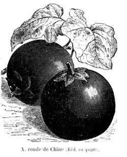 Aubergine ronde de Chine Vilmorin-Andrieux 1904.png