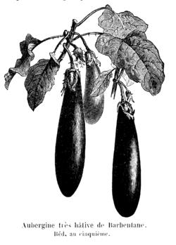 Aubergine très hâtive de Barbentane Vilmorin-Andrieux 1904.png