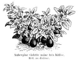 Aubergine violette naine très hâtive Vilmorin-Andrieux 1904.png