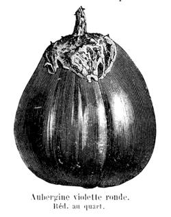Aubergine violette ronde Vilmorin-Andrieux 1904.png