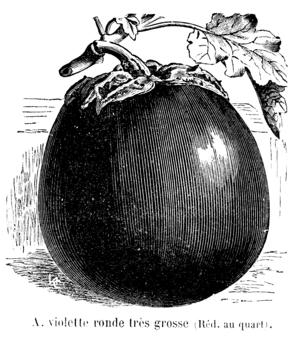 Aubergine violette ronde très grosse Vilmorin-Andrieux 1904.png