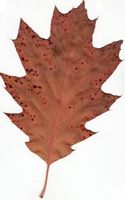 Autumn Red Oak Leaf.jpg