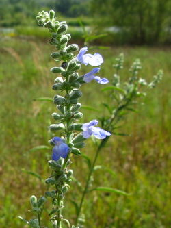 alt=Description de l'image Azure Blue Sage (Salvia azurea).jpg.