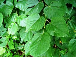 Blätter– Karduelis, gemeinfrei