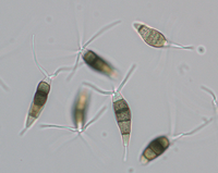 Conidia from naturally infected Erica, 40x objective.