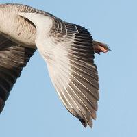 Flügel dunkel Federkiele einfarbig
