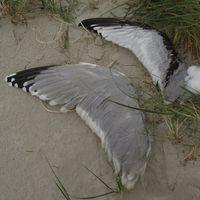 Flügel überwiegen silbergrau, Spitzen andersfarbig