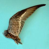 Flügel dunkel grau-braun, Federkiele abschnittsweise heller