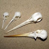Schnabel dünn, länger als Schädel, Hinterkopf mit Längsfurche
