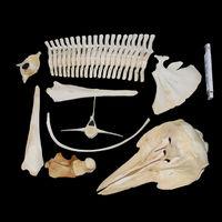 Schädel ca 45 cm lang, Schnabel lang dreieckig, Zähne spitz