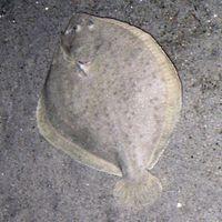 Kieme, Maul und Bauchhöhle links, Umriss oft breit rundlich