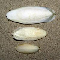 Breit oval, Mitte am dicksten und breitesten