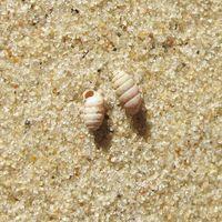 Tönnchenförmig gewickelt, kleine Mündung, bis 3 mm
