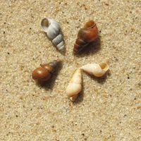 Kegelförmig, 3 (-6) mm, braun, tot weiß
