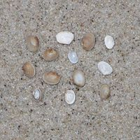 Unter 6 mm, kurz oval, oft braun gefleckt
