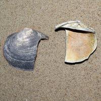 Schale undurchsichtig (fossil), meist groß