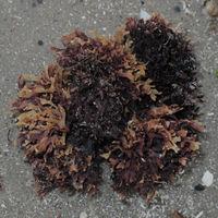 Knorpelige Algen, Querschnitt platt