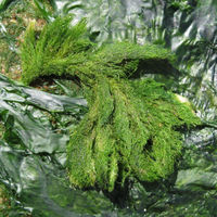 Grüne Watte, borstig verfilzt, auf Felsen