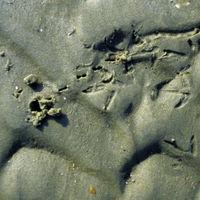 Einzelloch, Vogelspur mit 4,5 cm Zehenlänge