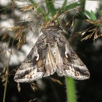 Flügel in Ruhe dachförmig, Körper oft plump, pelzig