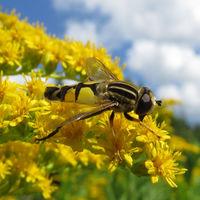 Körper gelb gemustert, Blütenbesucher