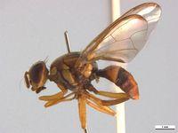 Bactrocera cacuminata PaDIL136216e.jpg