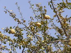 alt=Description de l'image Balanites aegyptica fruits and leaves.jpg.