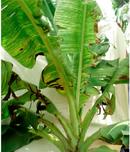 Banana streak disease Viruses 2016 8 177.png