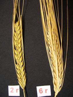 alt=Description de l'image BarleyEars.JPG.