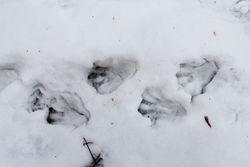 Trittspuren im Schnee - Dariusz Kowalczyk, CC BY-SA 4.0